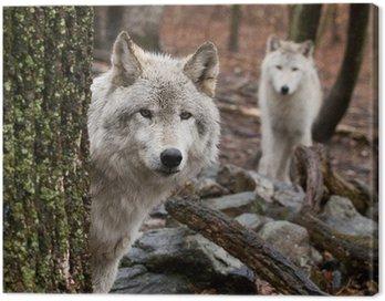Obraz na Płótnie Wilki