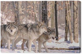 Obraz na Płótnie Wilków