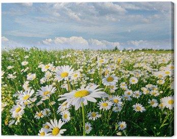 Obraz na Płótnie Wiosna: pole daisy kwiatów z nieba i chmur