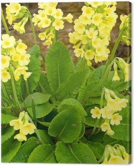Obraz na Płótnie Wiosna żółte kwiaty Primula veris