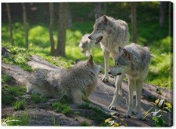 Obraz na Płótnie Wolf Pack z trzech wilków