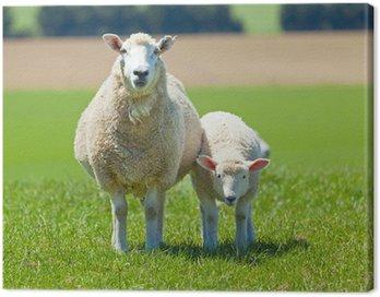 Obraz na Płótnie Wypas owiec