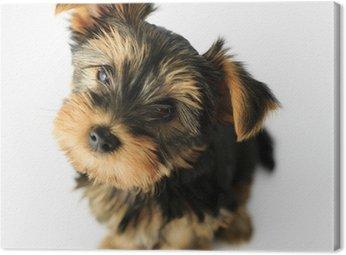 Obraz na Płótnie Yorkshire terrier - Portret cute puppy