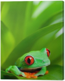 Żaba w zakładzie - red-eyed drzewa żaba