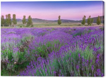 Obraz na Płótnie Zachód słońca nad polem letnich lavender w Tihany, Węgry