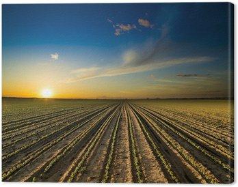 Obraz na Płótnie Zachód słońca nad zielonym polu uprawy soi fasoli