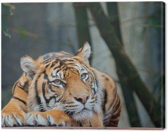 Zagrożone Sumatran Tiger