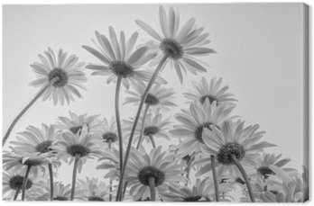 Zamknąć białych kwiatów stokrotki