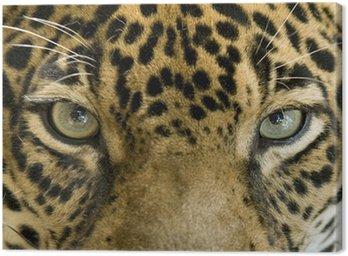 Zamknąć oczy pięknego jaguara lub Panthera onca