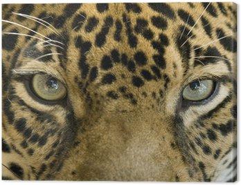 Obraz na Płótnie Zamknąć oczy pięknego jaguara lub Panthera onca