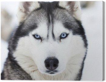 Obraz na Płótnie Zamknąć się na niebieskich oczach husky
