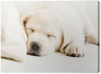 Obraz na Płótnie Zamknij się spanie szczeniak labrador na białej kanapie