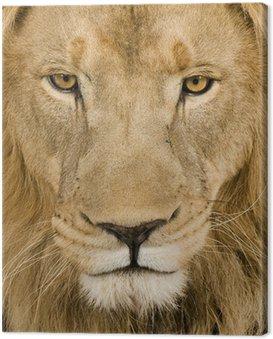 Obraz na Płótnie Zbliżenie na głowę lwa (4 i pół roku) - Panthera leo