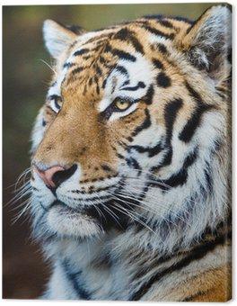 Obraz na Płótnie Zbliżenie z tygrysa syberyjskiego również wiedzieć, jak amur tygrys (Panthera ti