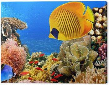 Obraz na Płótnie Zdjęcie z koralowców kolonii, Morze Czerwone, Egipt