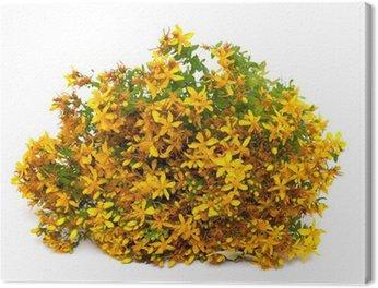 Obraz na Płótnie Ziele dziurawca (Hypericum perforatum, tutsan) kwiaty na białym tle