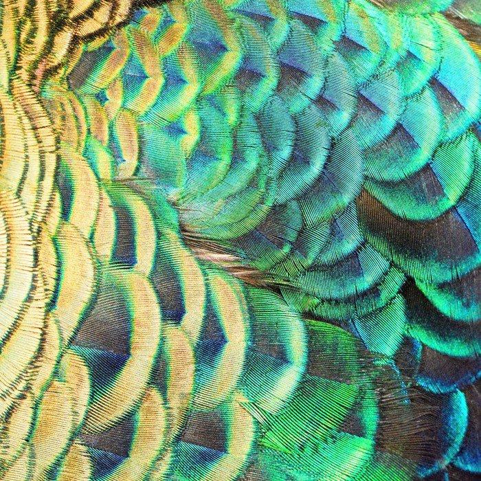Obraz na Płótnie Zielone pawie pióra - Surowce