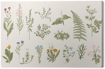 Obraz na Płótnie Ziół i dzikich kwiatów. Botanika. Zestaw. Vintage kwiaty. Kolorowe ilustracje w stylu rycin.
