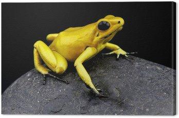 Złota Żaba trucizna / Phylloates terribilis