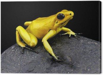 Obraz na Płótnie Złota Żaba trucizna / Phylloates terribilis