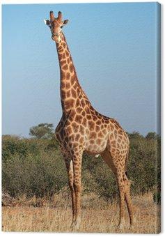 Obraz na Płótnie Żyrafa byka