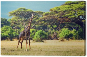 Żyrafa na sawannie. Safari w Amboseli, Kenia, Afryka