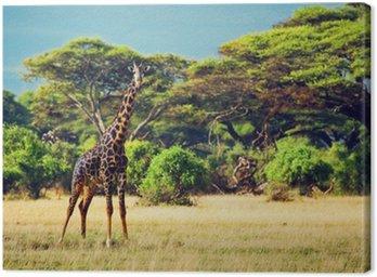 Obraz na Płótnie Żyrafa na sawannie. Safari w Amboseli, Kenia, Afryka
