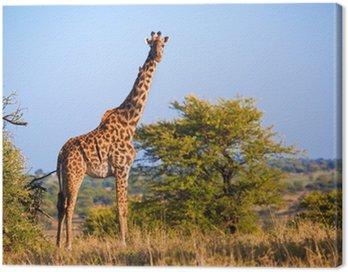 Obraz na Płótnie Żyrafa na sawannie. Safari w Serengeti, Tanzania, Afryka