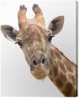 Obraz na Płótnie Żyrafa z bliska