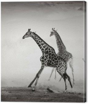 Żyrafy uciekający