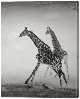 Obraz na Płótnie Żyrafy uciekający