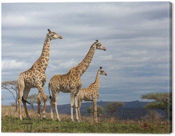 Żyrafy w rezerwacie