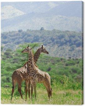 Obraz na Płótnie Żyrafy w Tarangire National Park, Tanzania