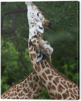 Obraz na Płótnie Żyrafy zaloty