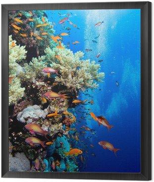 Obraz v Rámu Foto korálové kolonie