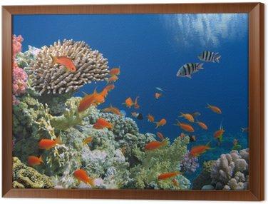 Obraz v Rámu Tropical Fish na korálovém útesu v moři Red