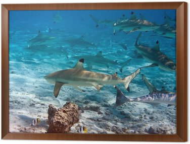 Obraz v Rámu Žraloci přes korálový útes v oceánu