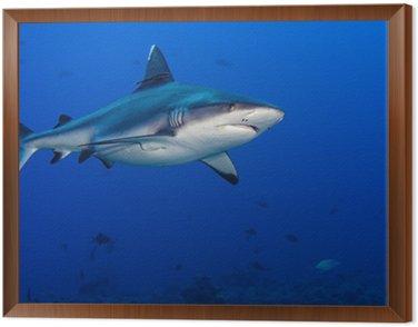 Obraz w Ramie Atak rekina pod wodą
