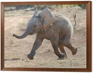 Obraz w Ramie Baby Elephant Running