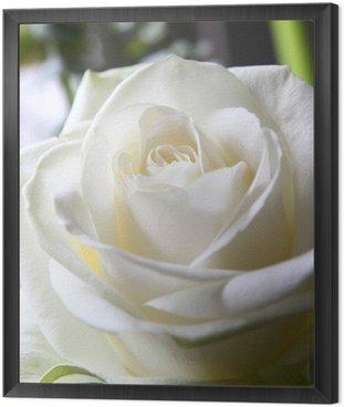 Obraz w Ramie Biała róża