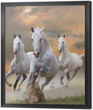 Obraz w Ramie Białe konie w kurzu