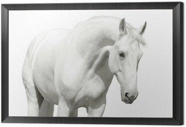 Obraz w Ramie Biały koń wysoki klucz