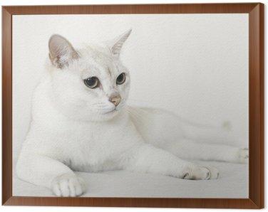 Obraz w Ramie Burmilla Cat