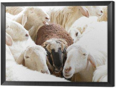 Obraz w Ramie Czarna owca w grupie