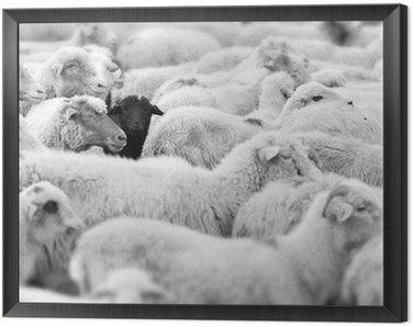 Obraz w Ramie Czarna Owca