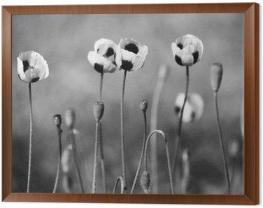 Czarne i białe kwiaty maku