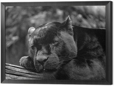 Obraz w Ramie Czarny Jaguar