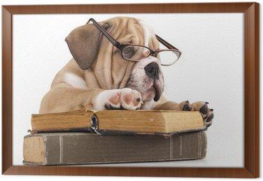 Obraz w Ramie Czystej krwi Buldog angielski w okulary i książki