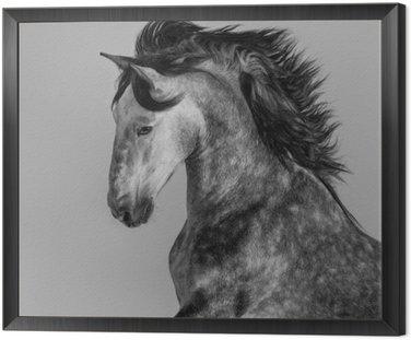 Obraz w Ramie Dapple-gray andaluzyjski ogier - portret w ruchu