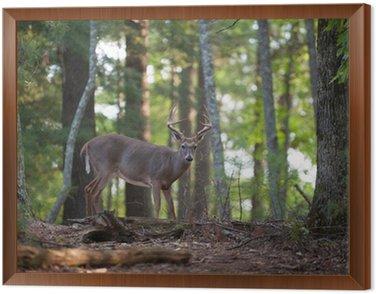 Duża bielik buck deer